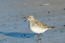 A White-rumped Sandpiper standing on the sand