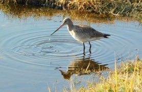 Hudsonian Godwit with drip coming from bill