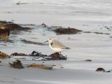 Sanderling on the sand.
